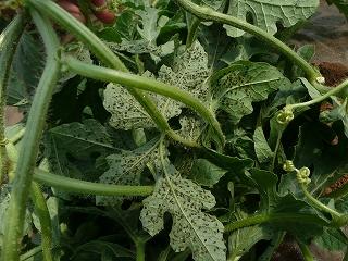 西瓜の葉についたアブラムシ
