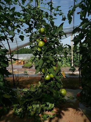 ボカシ肥料を追肥したトマト