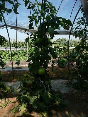 ボカシ肥料を追肥しなかったトマト