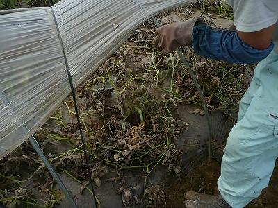 西瓜の木を引っこ抜く・1