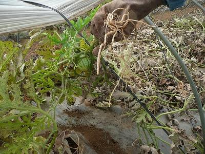 西瓜の木を引っこ抜く・3