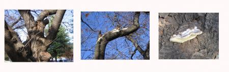傷ついた桜樹