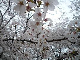 sakura_0405_5.jpg