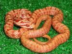 シマヘビのアルビノ