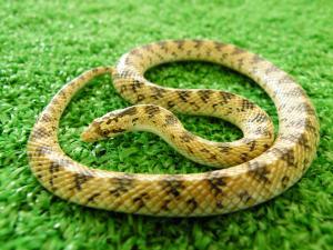 キリサキヘビ