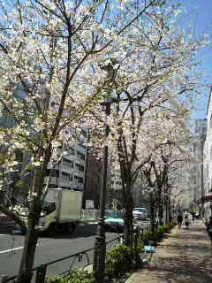 明治通りの桜