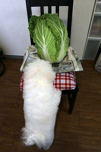 白菜と犬 (4)