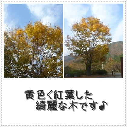 黄色く紅葉♪