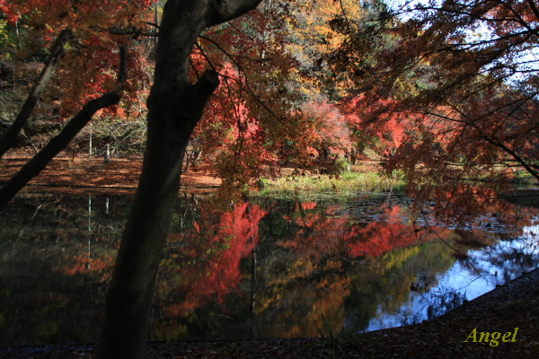 泉自然公園の紅葉Angel1