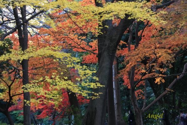 紅葉&黄葉Angel1