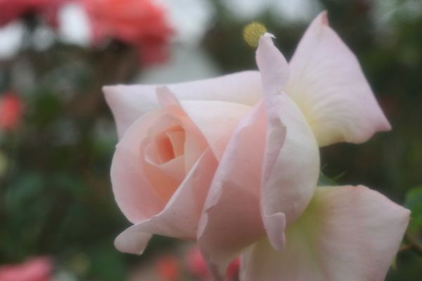 高松宮家の薔薇Angel1