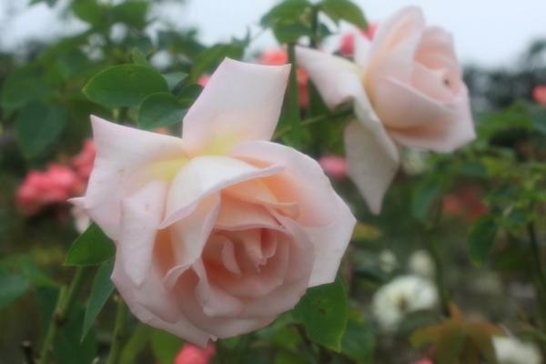 高松宮家の薔薇Angel2
