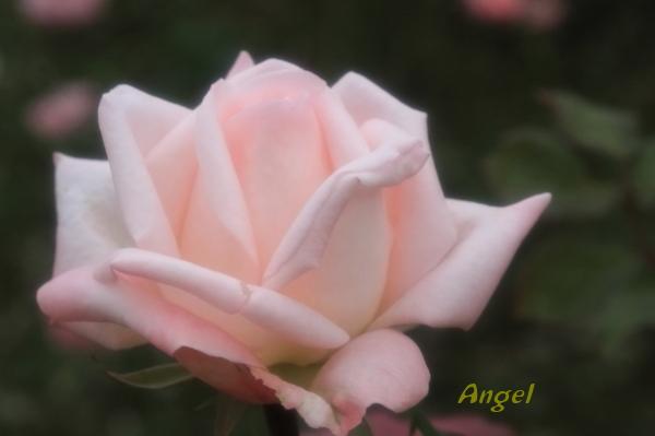 ハイネス雅Angel1