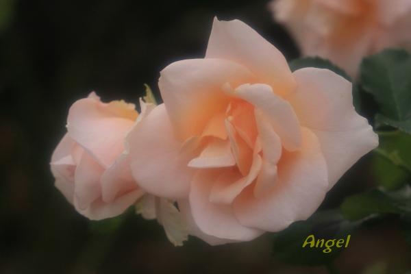 琴音Angel1