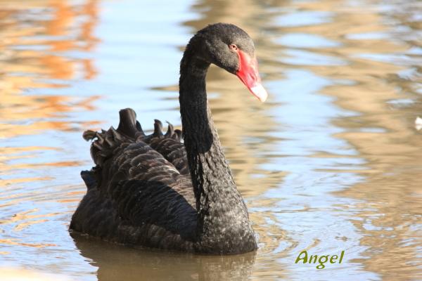 黒鳥Angel