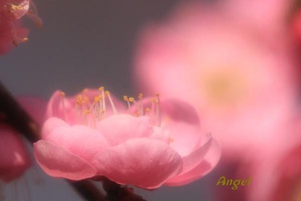 花香美Angel2