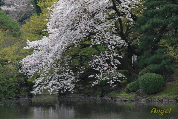 桜Angel1