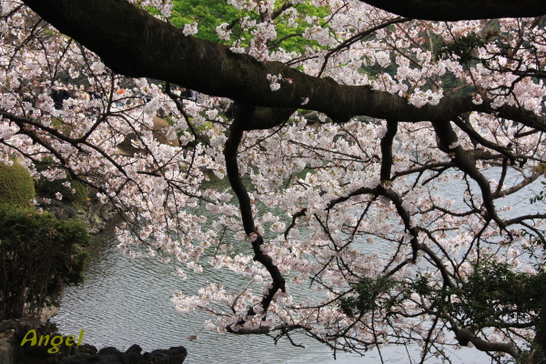 桜Angel2