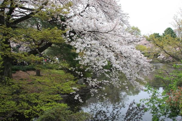 桜Angel3