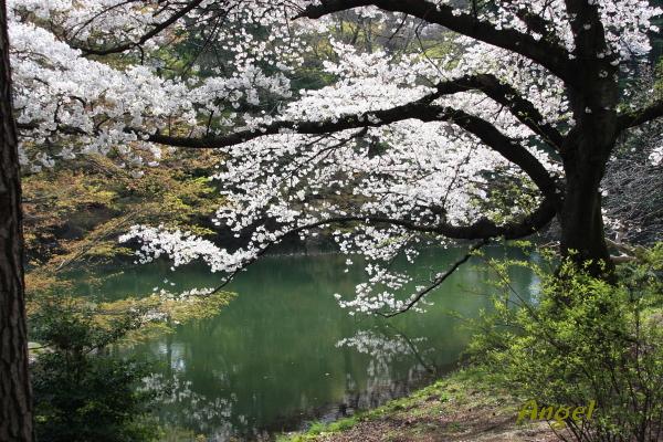 桜Angel4