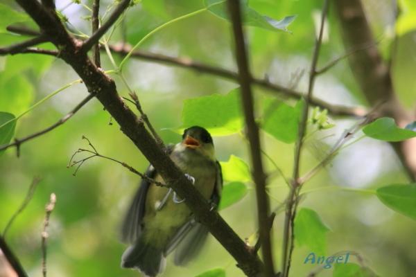 ヤマガラ幼鳥Angel1