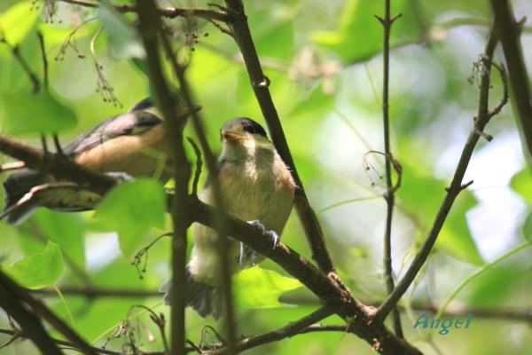 ヤマガラ幼鳥Angel2