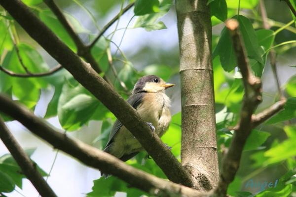 ヤマガラ幼鳥Angel4