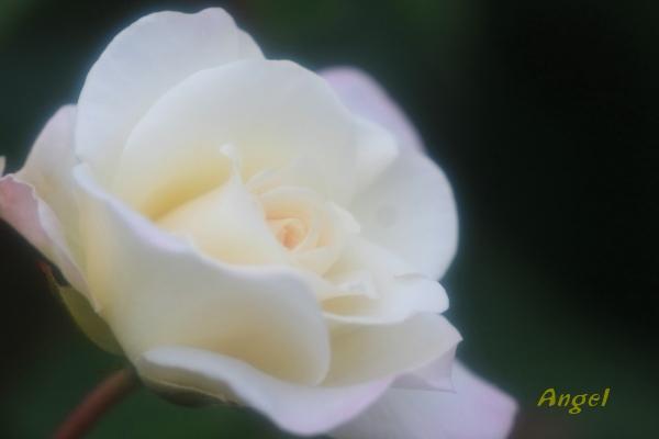 サラトガAngel2(412)