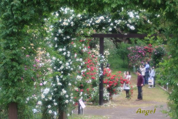 京成バラ園芸Angel2(348)