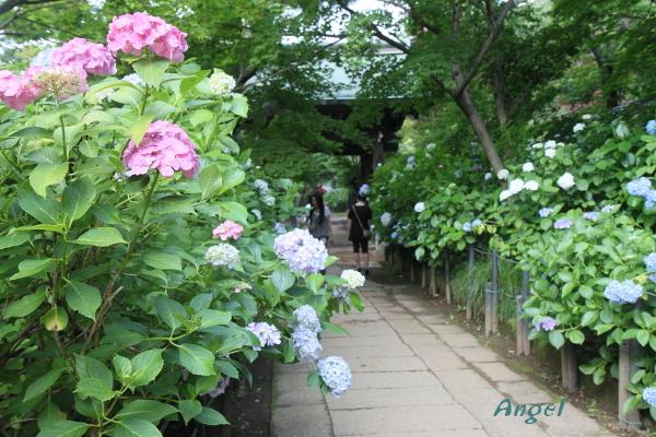 長谷山本土寺Angel5(45)