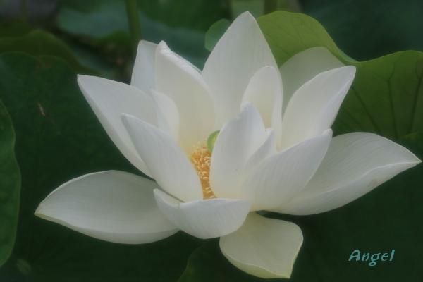 西光寺白蓮Angel(96)