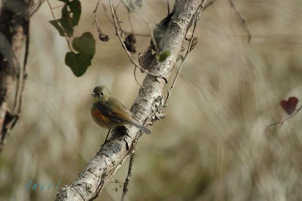 ルリビタキ幼鳥(6179)
