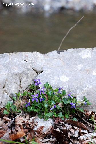 渓流に咲くすみれ
