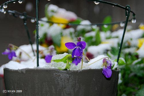 遅い雪とすみれ