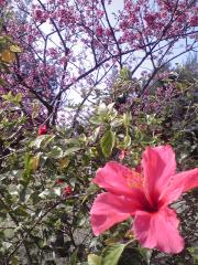 桜とハイビスカス