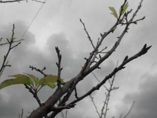 11月の桜の新芽