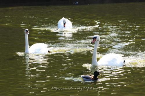 白鳥さんたち201102