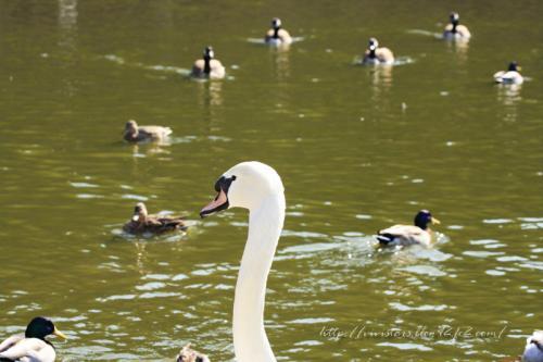 白鳥さんたち201101