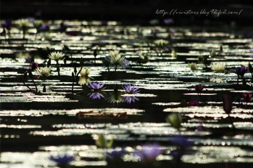 蓮の花201102
