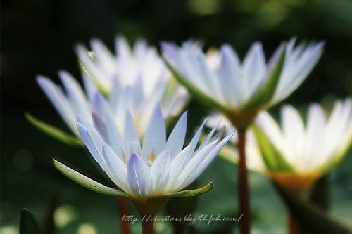 蓮の花201101