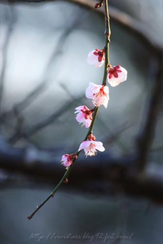 岩本山梅の花06