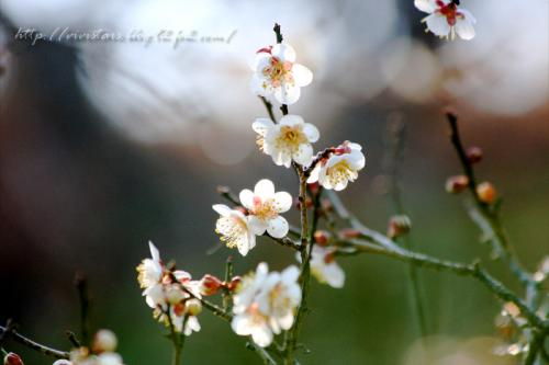 岩本山梅の花03