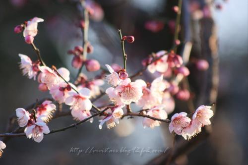 岩本山梅の花05