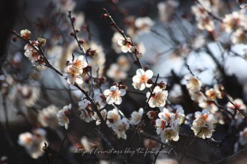 岩本山梅の花04