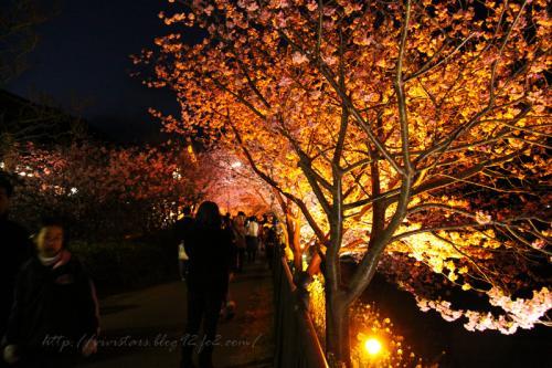 河津桜ライトアップ001