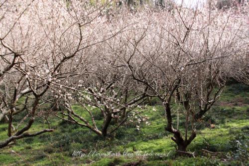 丸子の梅の木001