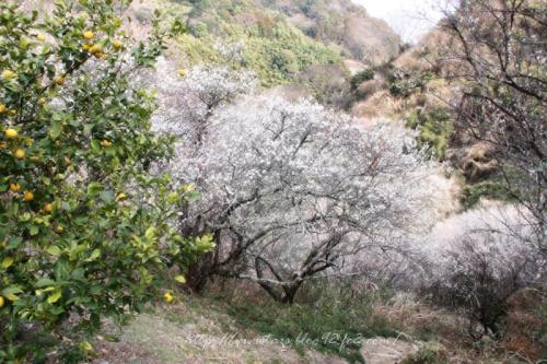 丸子の梅の木002