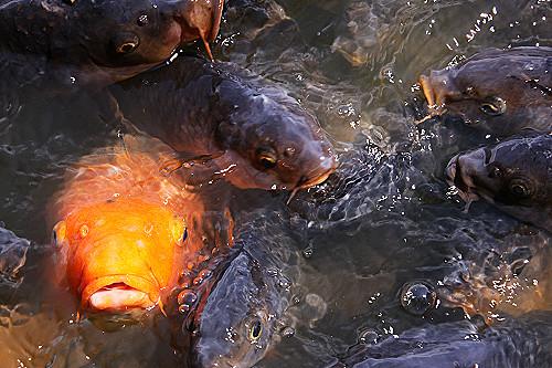 神池の鯉さん
