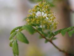 2009 05 10 山椒の花.JPG