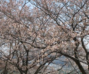 桜五分咲き